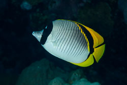 BD-100920-Fury-Shoal-1831-Chaetodon-lineolatus.-Cuvier.-1831-[Lined-butterflyfish].jpg